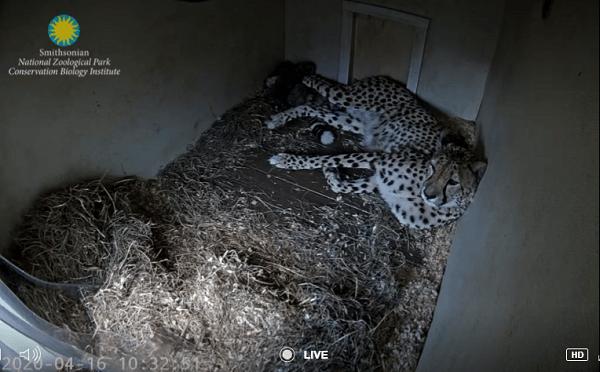 おうちで動物園 チータの赤ちゃん